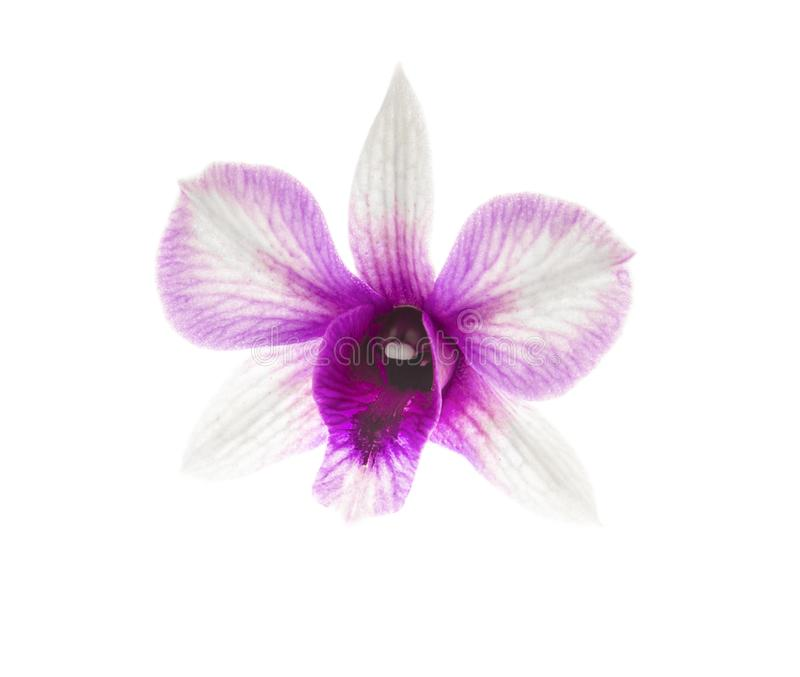 Beautiful white purple orchid Dendrobium bigibbum or Cooktown orchid or mauve butterfly orchid single flower isolated on white royalty free stock photography