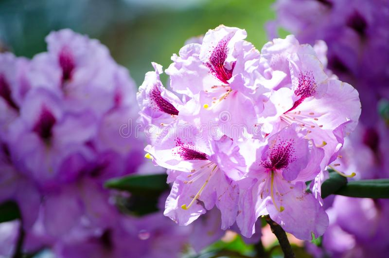Beautiful white purple Pacific rhododendron flowers in a spring season at a botanical garden. royalty free stock photography