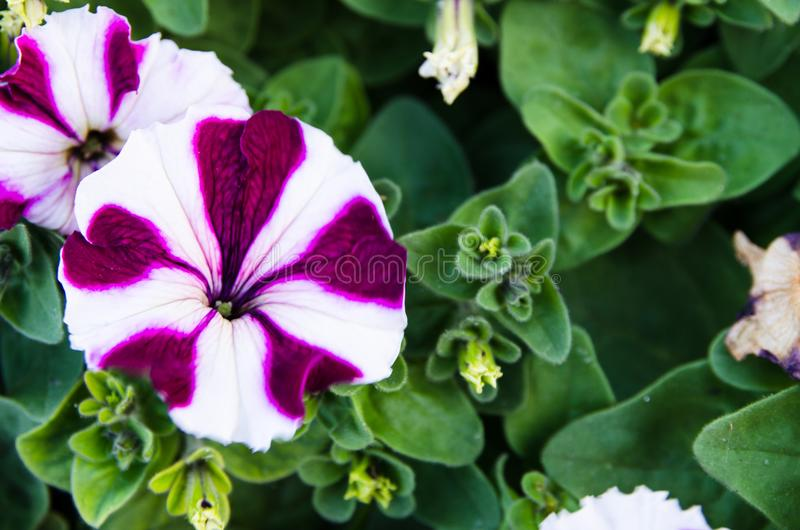 Beautiful white purple petunia flower with its green leaves in a spring season at a botanical garden. stock photography
