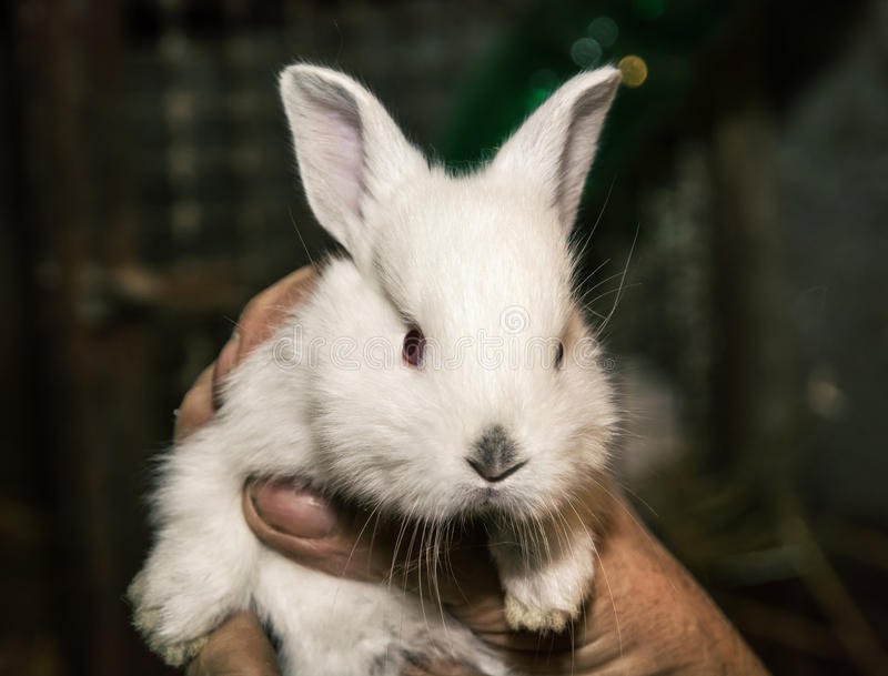 Beautiful white rabbit in the hand stock photos