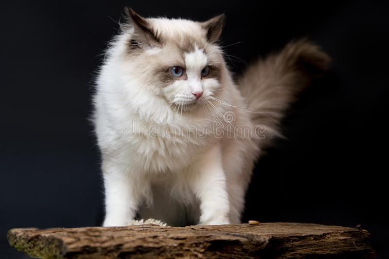 Ragdoll white very beauty cat. Beautiful white Ragdoll cat with blue eyes, it is hidding behide board and watching stock photos