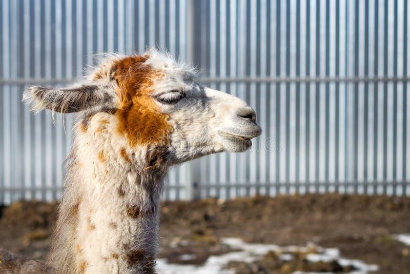 Beautiful white-red lama. Close-up. Wild nature. Animals. stock image