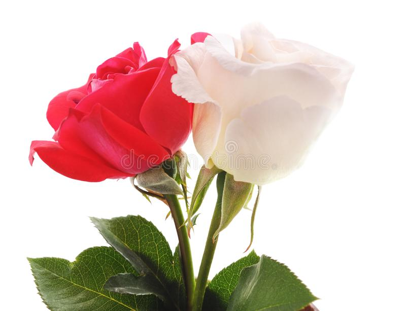 Beautiful white and red roses. On a white background royalty free stock photo