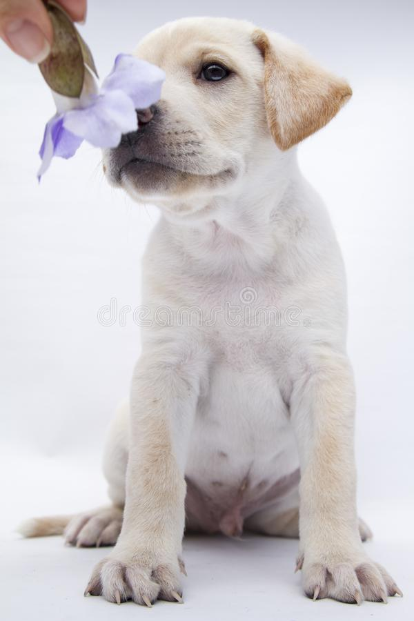 A beautiful white rescued puppy sit on a background white with a rose stock photo