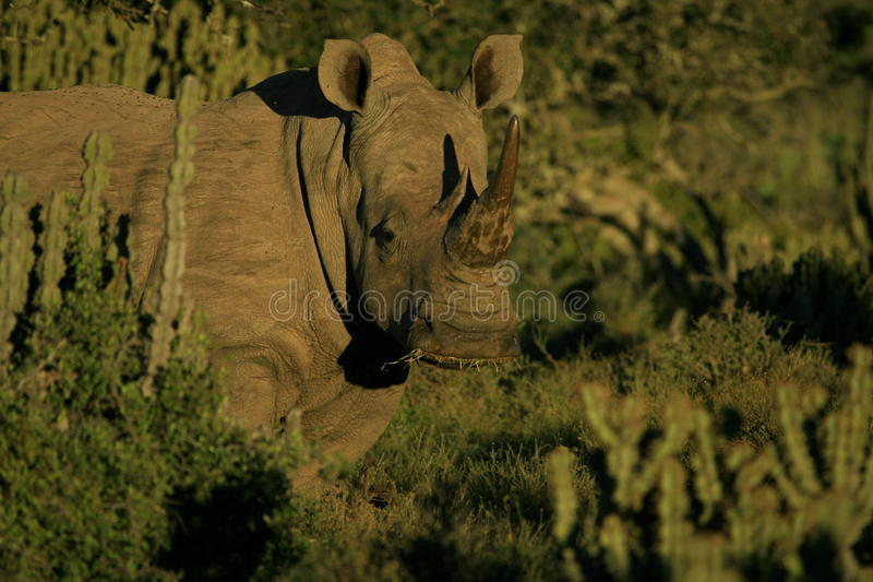 Beautiful White rhino portrait. A big pregnant female white rhino stares at the camera while feeding in a safari Park in South Africa royalty free stock photos
