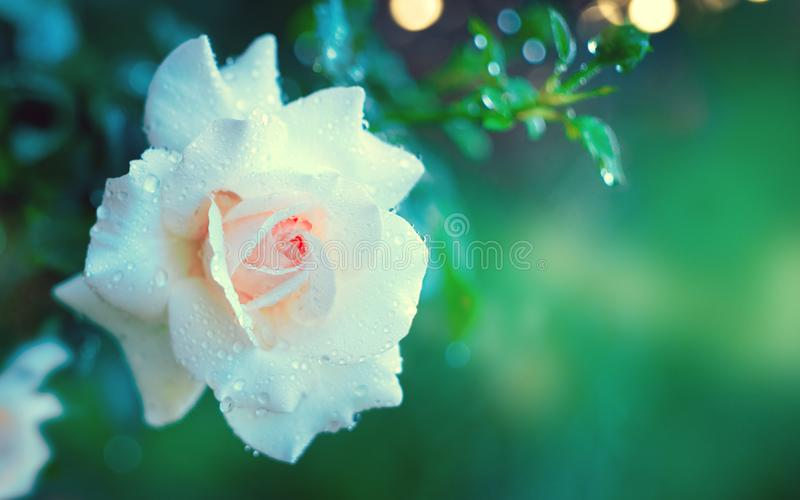 Beautiful white rose blooming in summer garden. White roses flowers growing outdoors. Nature, blossoming flower stock photos