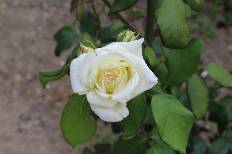 A beautiful white rose blossomed on a rosebush. stock image