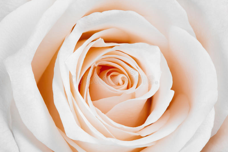 Beautiful white rose. Close-up of beautiful white rose royalty free stock images