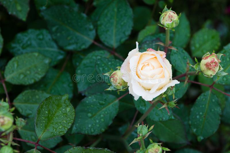 Beautiful white rose in the garden with rain drops, selective focus.  stock images