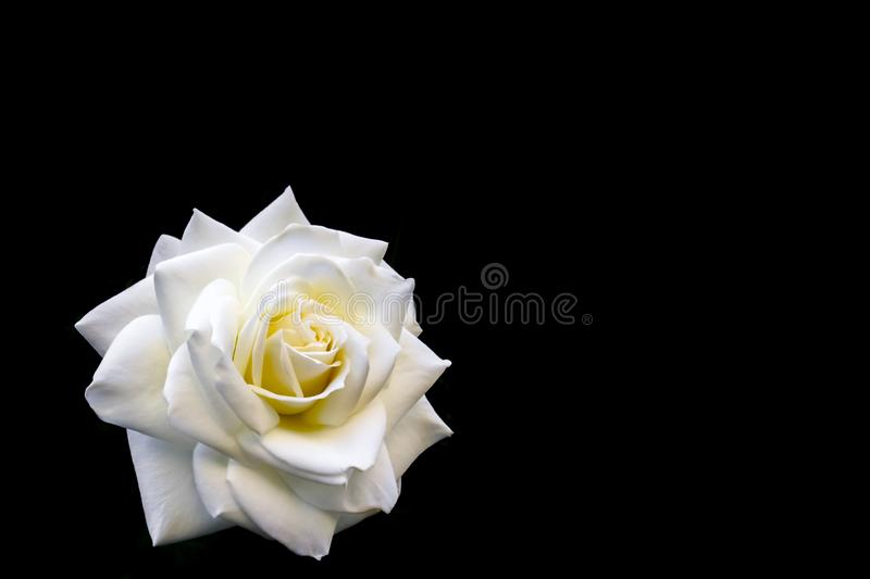 Beautiful white rose isolated on black background. Ideal for greeting cards for wedding, birthday, Valentine`s Day, Mother`s Day royalty free stock image