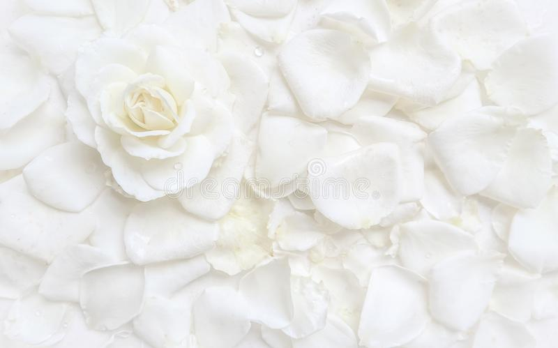 Beautiful white rose and petals on white background. Ideal for greeting cards for wedding, birthday royalty free stock photography