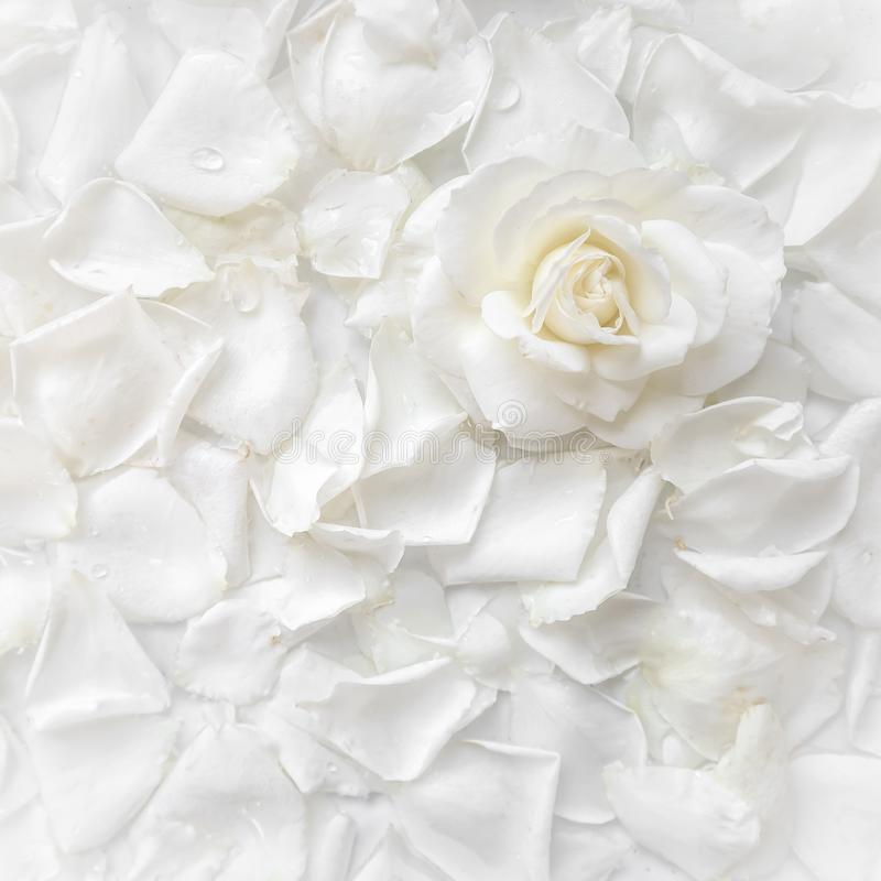 Beautiful white rose and petals on white background. Ideal for greeting cards for wedding, birthday, Valentine`s Day, Mother`s Day stock image