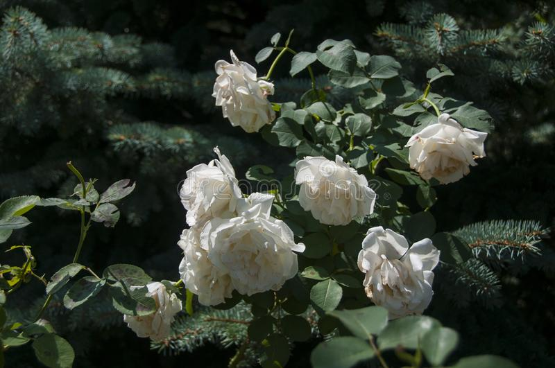 Beautiful white roses on the background of a dark green pine tree. royalty free stock photos