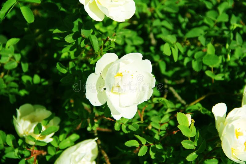 Beautiful white roses bells on the flower bed royalty free stock photo