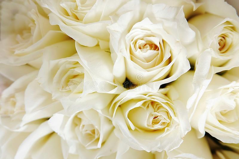 Beautiful white roses love day wedding day White roses floral Background flowers closeup Texture of delicate rose solid field stock image