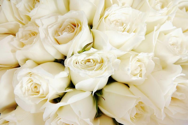 Beautiful white roses love day wedding day White roses floral Background flowers closeup Texture of delicate rose solid field royalty free stock photo