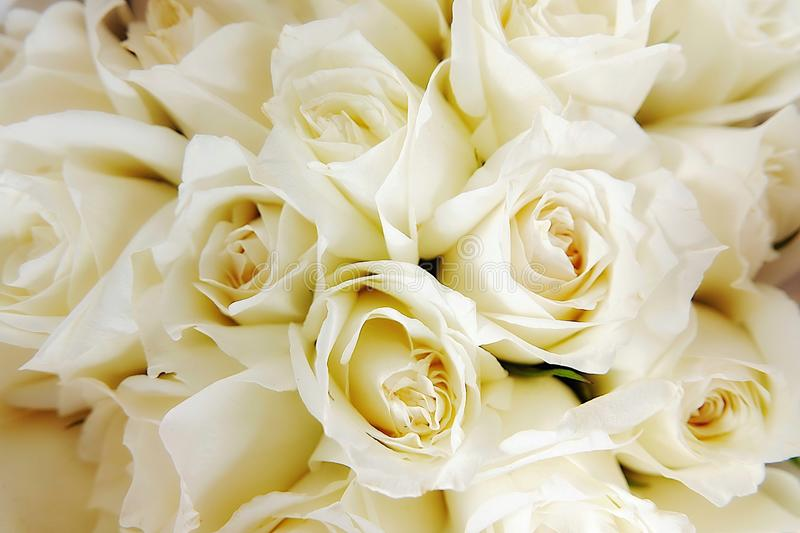 Beautiful white roses love day wedding day White roses floral Background flowers closeup Texture of delicate rose solid field royalty free stock images