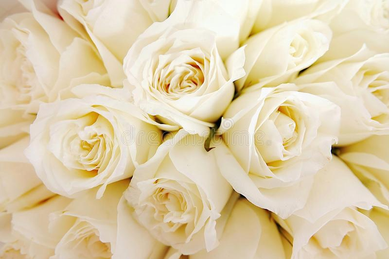Beautiful white roses love day wedding day White roses floral Background flowers closeup Texture of delicate rose solid field royalty free stock photography