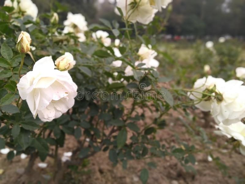 Beautiful white roses in a park stock photography