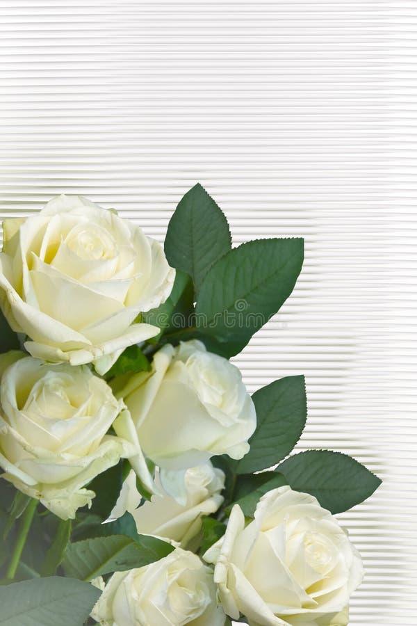 White roses on a white background. royalty free stock photos