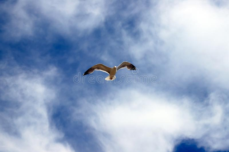 Beautiful white sea gull soars against the blue sky in clouds. Seagull in flight. Like an airplane royalty free stock images