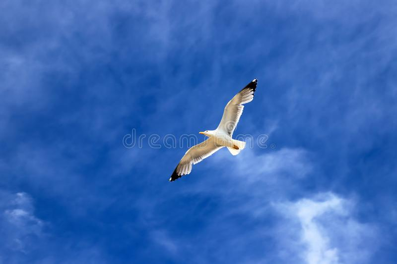 Beautiful white sea gull soars against the blue sky with clouds. Seagull in flight. Like an airplane stock image