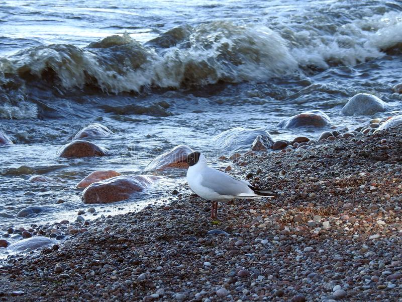 Seagull bird on Baltic sea coast, Lithuania royalty free stock photo