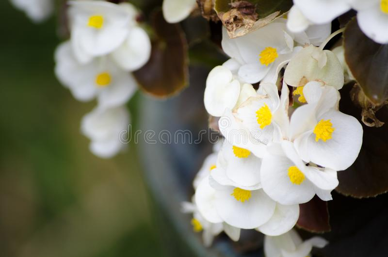 Beautiful white Semperflorens Begonia blooming flowers in a spring season at a botanical garden. stock images