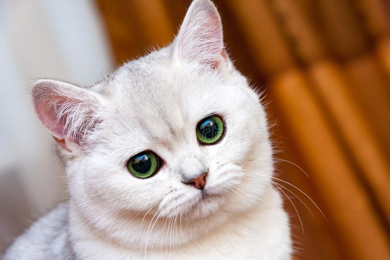 Beautiful white silvery British cat with green eyes royalty free stock photos