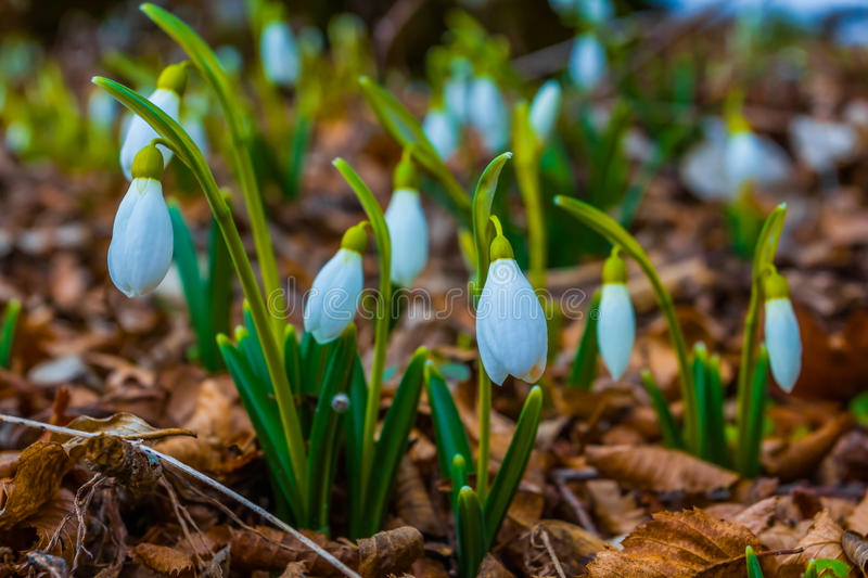 Beautiful white snowdrop glade stock images
