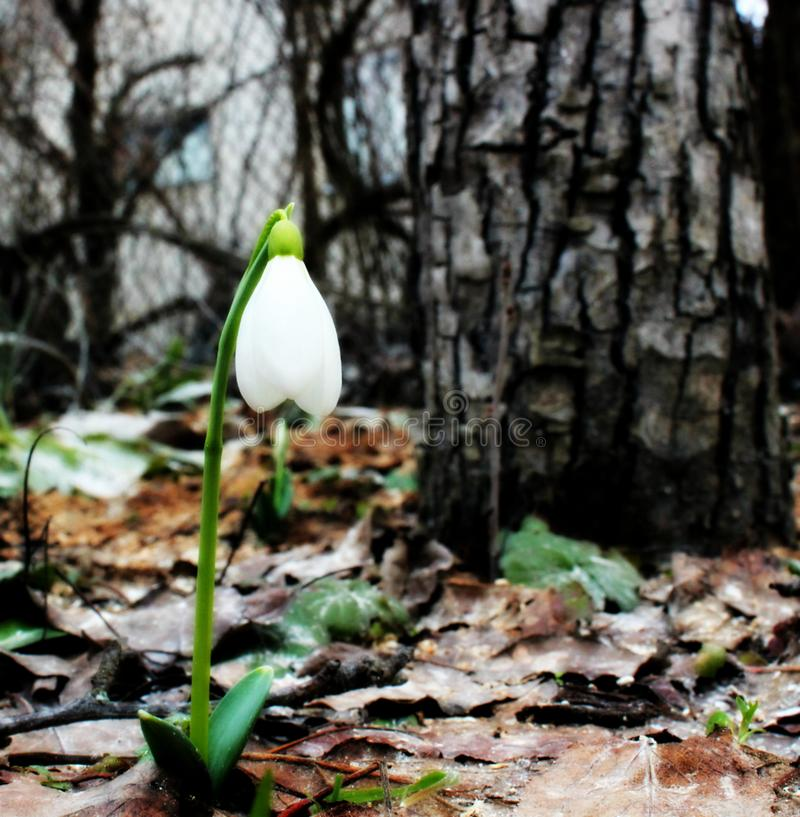 White snowdrops in spring stock image