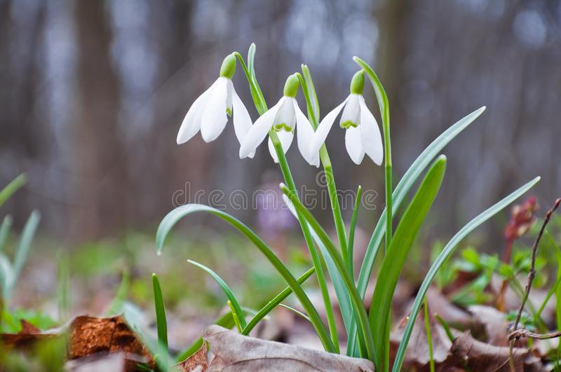 Beautiful white snowdrops growing in the forest stock image