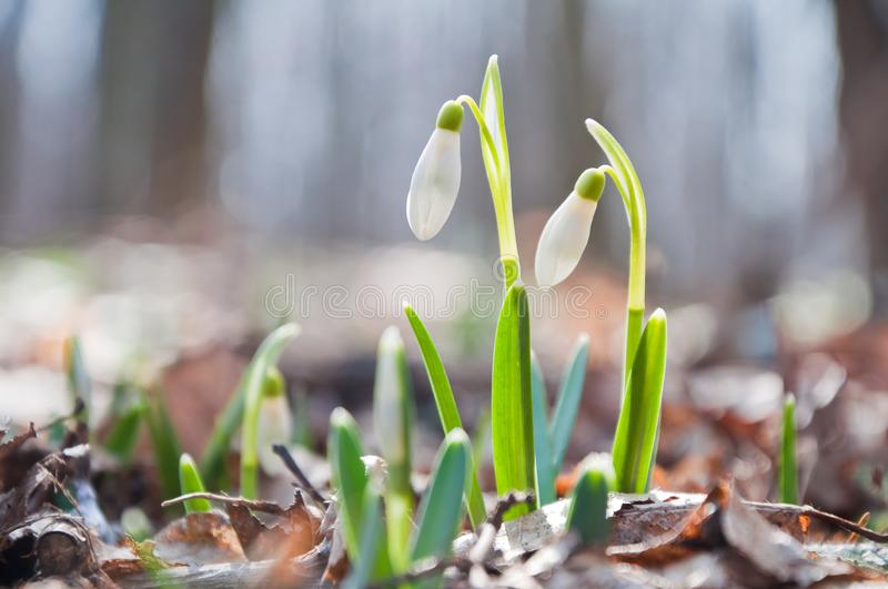Beautiful white snowdrops growing in the forest royalty free stock photography