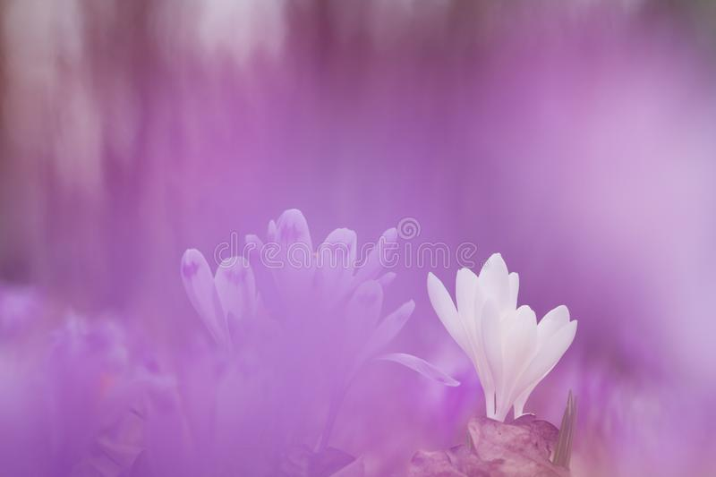 Beautiful white spring flower crocus in purple background growing wild. Amazing beauty of wild flowers in nature royalty free stock image