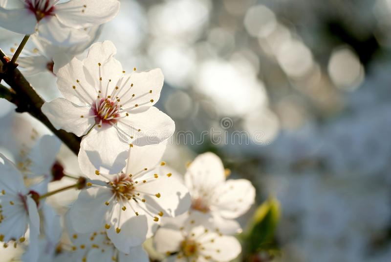 Beautiful white Spring tree flowers royalty free stock photos