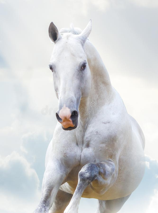 Beautiful white stallion stock photo