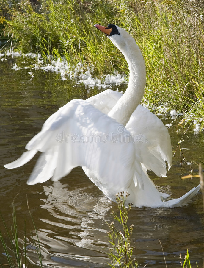 Download Beautiful White Swan Royalty Free Stock Photography - Image: 6976517