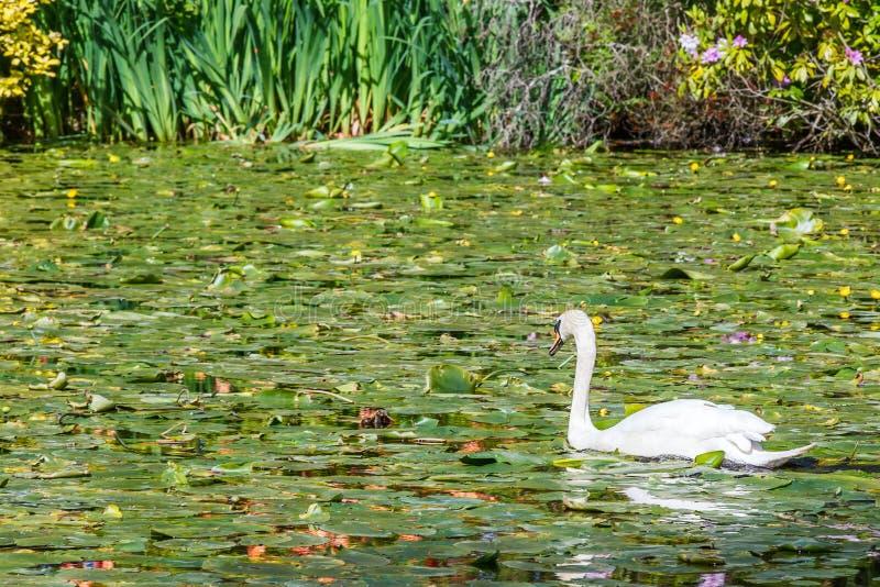 Beautiful white swan royalty free stock photo
