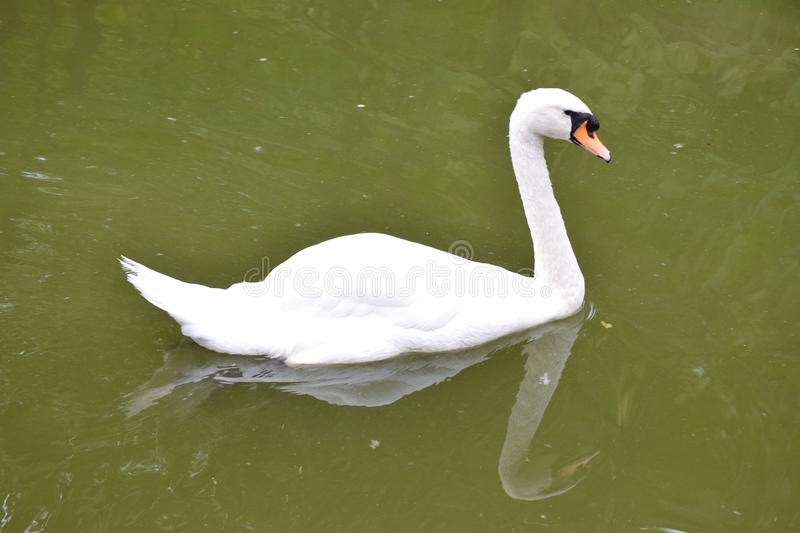 Beautiful white swan floating and swimming royalty free stock photo