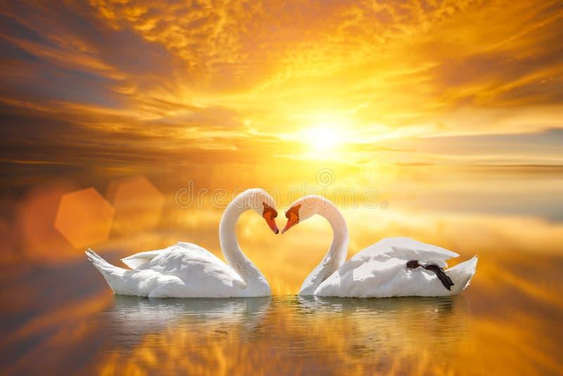 Beautiful White swan in heart shape on lake sunset stock photos
