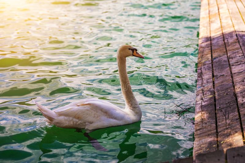 Beautiful white swan in the lake, romance, seasonal postcard, selective focus. Large white mute swan on the lake in summer.  stock photos
