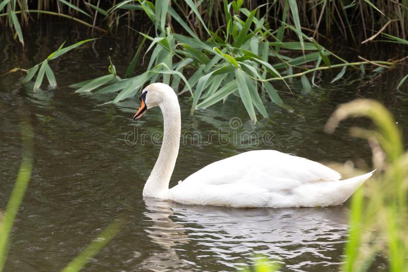 A beautiful white swan in the Netherlands. This photo from a swan is make in the north of the Netherlands stock photography