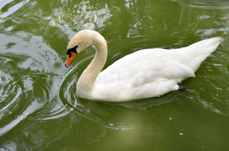 Beautiful white swan swimming in the pond. Summer photo, white swan bowed his head royalty free stock photo