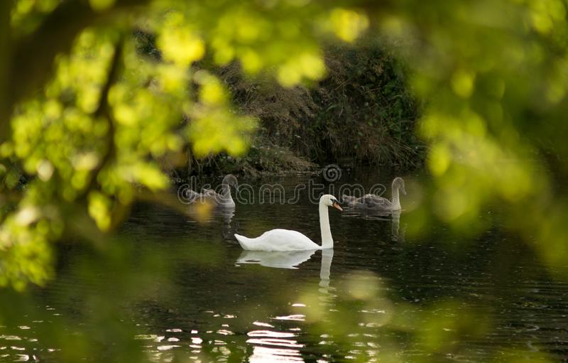 Beautiful swan with two cygnets on the pond through sunlit leaves in foreground. stock photo