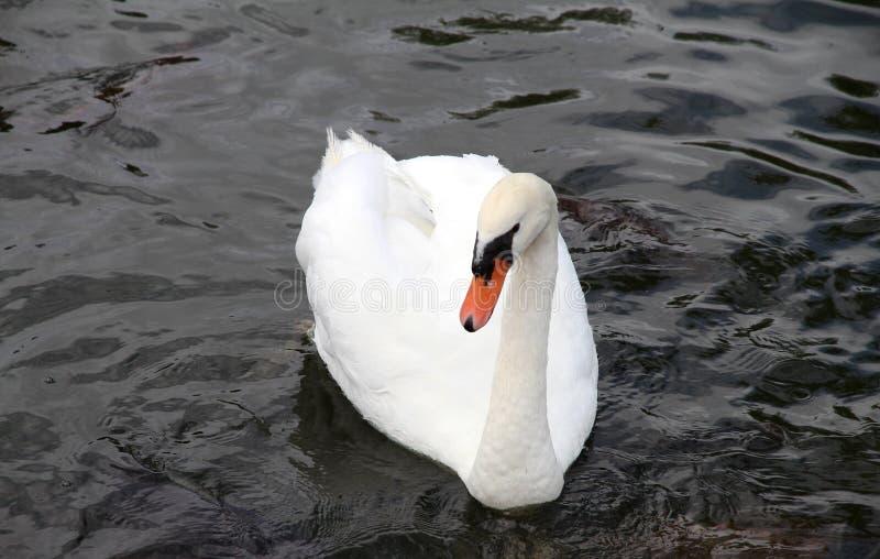 Download Beautiful White Swan On Water. Stock Photo - Image: 40008826