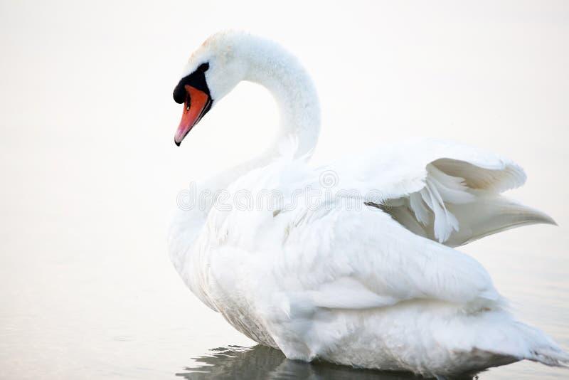 Beautiful white swans floating stock photo