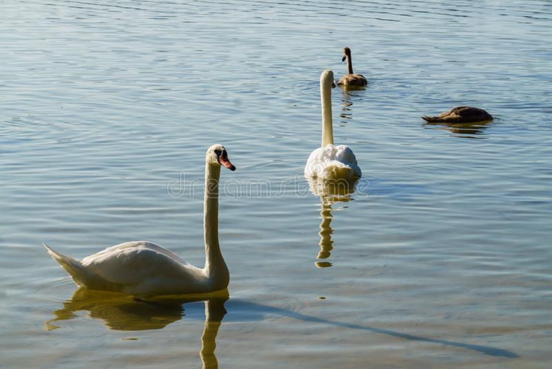 Beautiful white swans on the lake along with the chicks.  royalty free stock photo