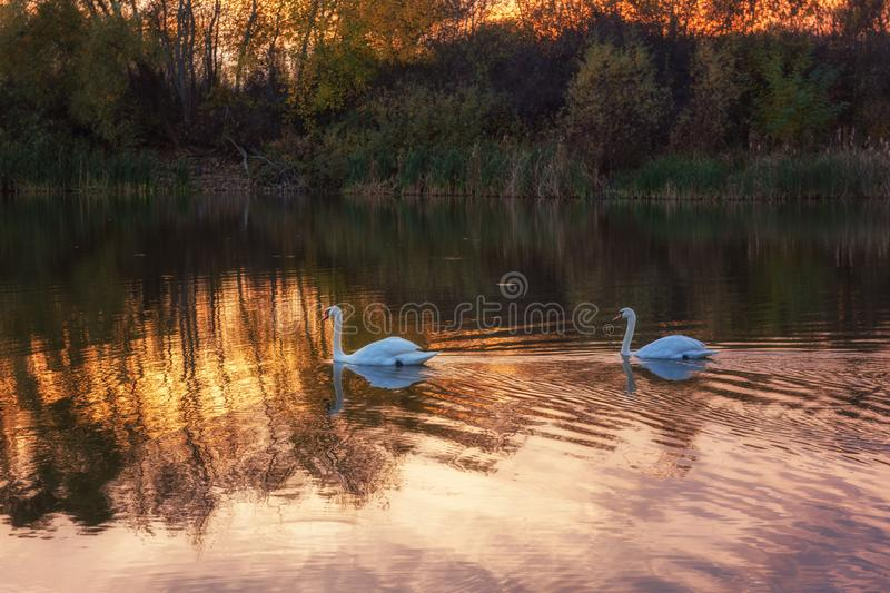 Beautiful white swans in the lake in sunset light, nature landscape stock photos