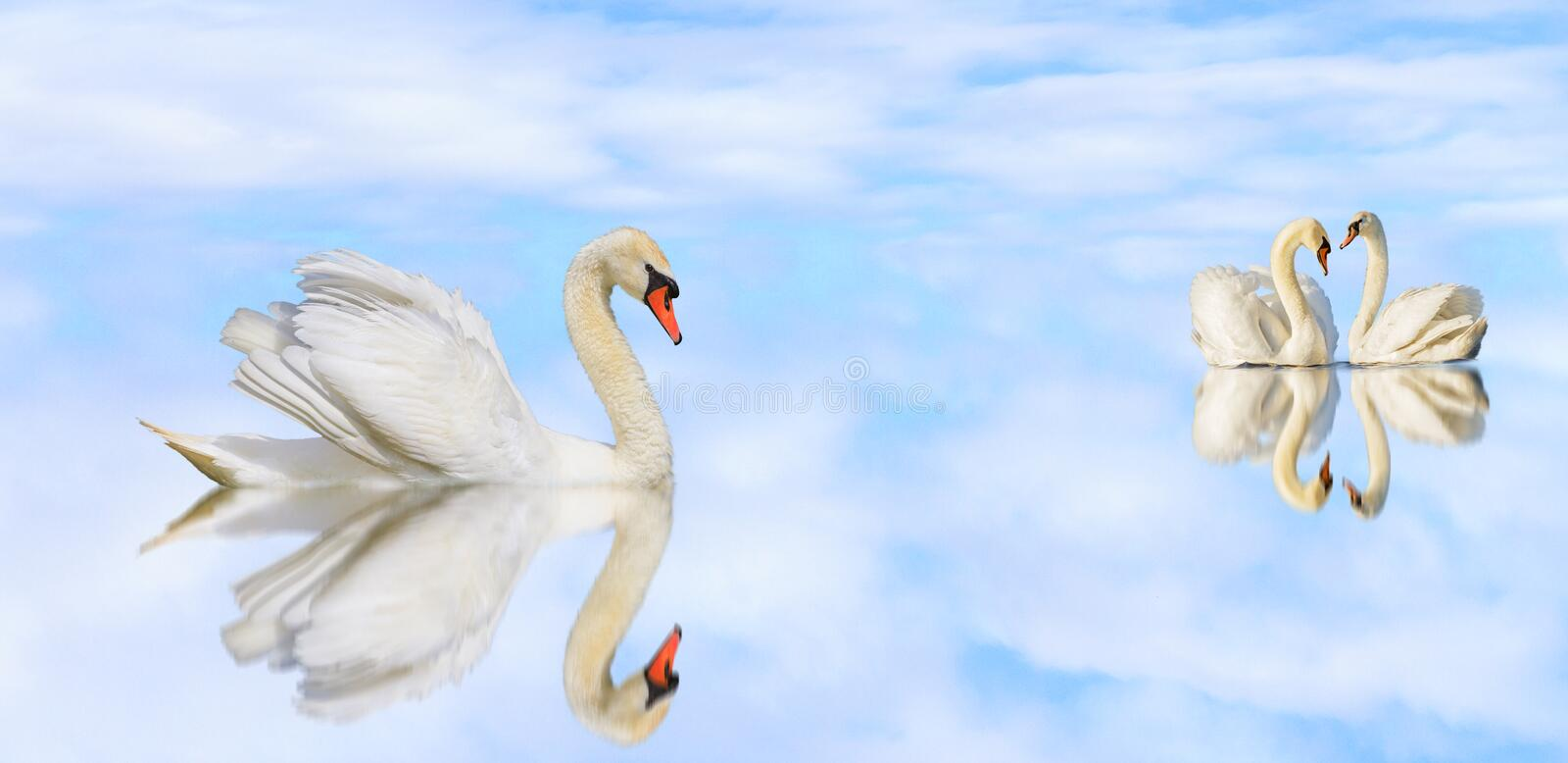 Beautiful white swans on a quiet lake with reflection royalty free stock photos