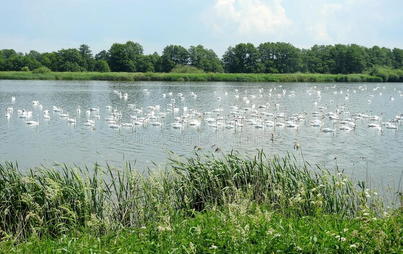 Beautiful white swans in small lake, Lithuania royalty free stock photography